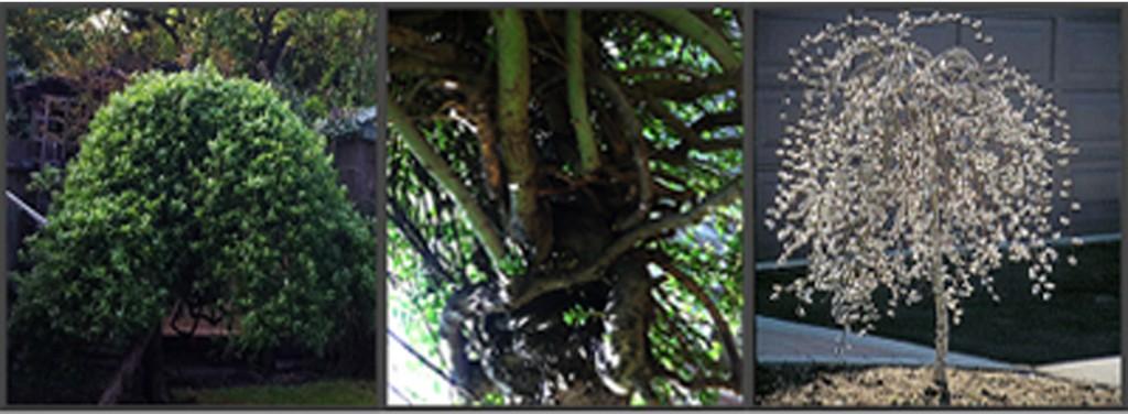 Salix Trees